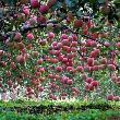 apples果果