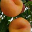 3公分冬枣树起苗现场都有分枝明年就可以结果枣树苗果树环球度假区戏精试镜 金环虎头蜂