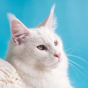 美国银虎斑猫是美短吗?