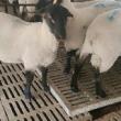 #养羊#纯种澳洲白头胎怀孕棒奶大母羊,有喜欢的朋友留言