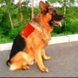 记录退役警犬狼牙的精彩每一天,退役不褪色,精神饱满,不减当年#德牧
