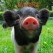 #养猪#嫂子把猪养成狗了!真听话