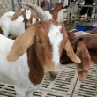 #杜泊绵羊繁殖母羊#棒奶大母羊,回家就下崽。小尾寒羊,澳洲白绵羊,黑头杜泊绵羊,种羊养殖,养羊场