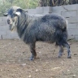 四胞胎青山羊