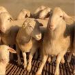养羊小妙招,澳洲白大母羊,澳洲白种公羊
