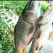 找鱼道首选桦尖处,鱼都是逆时针回游,会停留在此觅食。在此下竿绝对错不了,会连杆不断,喜欢双击关注转发