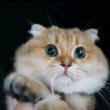 盯着鼻孔看核桃连呼吸都在比心猫 猫咪 仓鼠猫核桃