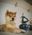 #柴犬#柴犬越长越丑是什么原因?