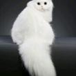 发几个小可爱家有萌宠 家有萌猫 喵星人 胖猫猫 金色加白 sca 铲屎官的乐趣