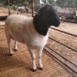 怀孕小尾寒羊